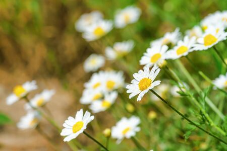 Chamomile (Matricaria recutita), blooming plants in the spring meadow on a sunny day, closeup with space for text