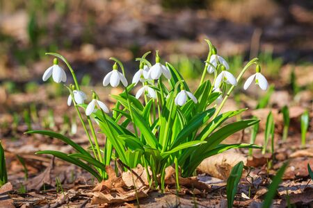 Galanthus nivalis or common snowdrop - blooming white flowers in early spring in the forest, closeup