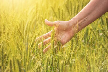 Field of young wheat or rye in the rays of sunlight, farmer's hand with ears of cereal, closeup.