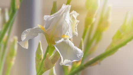 Closeup of white iris flowers on natural background on a sunny day. Soft selective focus. Background with space for text 版權商用圖片