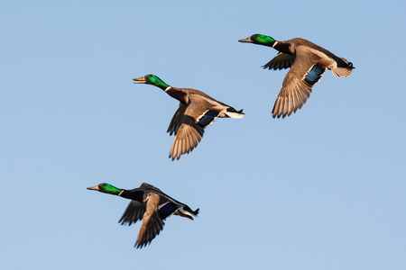 Three drake Mallard ducks in flight against a sky blue background, slight motion blur.