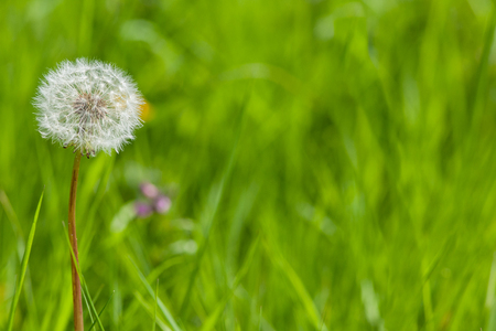 Dandelion with seeds, space to write text on right hand side Stock fotó
