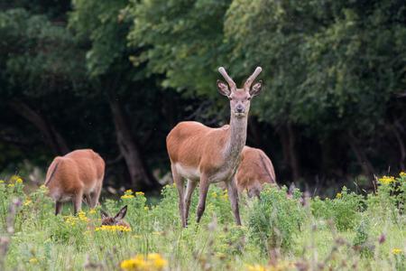 Irish Red Deer, Killarney National Park, Co Kerry, Ireland
