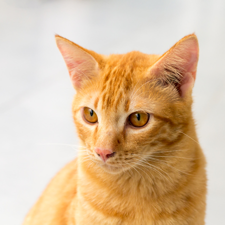 orange cat, look some thing. Cute cat, cat lying on the wooden floor in the background blurred close up playful cats, cats relaxing vacation.