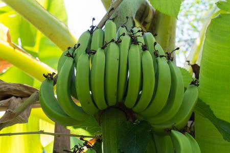 bannana: Green Raw Bananas. Young green banana on tree. Unripe bananas close up. Stock Photo