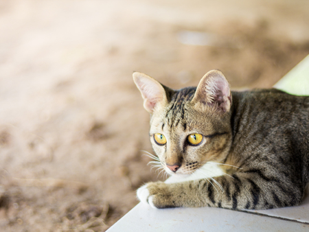 Abstract siam cat, look some thing. Cat lying on the wooden floor in the background blurred close up playful cats, cats relaxing vacation. Stock Photo