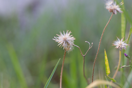 Close up of grass flower and white flower in the garden macro 77587724 beautiful flower grass vintage style selective focus blur picture of grass flower mightylinksfo