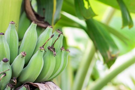 bannana: Close up green Raw Bananas. Young green banana on tree. Unripe bananas close up.