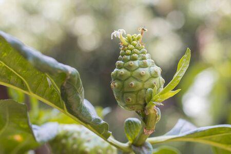tahitian: Morinda citrifolia fruit on tree. English common names are great morinda, noni, and cheese fruit. Stock Photo