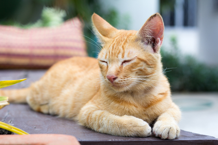 cat lying on the wooden floor in the background blurred close up playful cats. cats relaxing vacation.