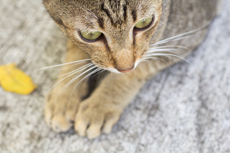 Thailand Cat lethargic. Abstract Siam cat sit on cement floor. Cat sit on white floor. Stock Photo
