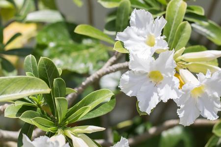 natural flowers Azalea flowers. Impala Lily or Desert Rose or Mock Azalea, beautiful white flower in garden.