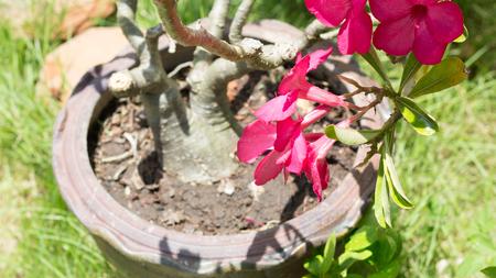 mock azalea: natural flowers Azalea flowers. Impala Lily or Desert Rose or Mock Azalea, beautiful pink flower in garden. Stock Photo