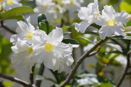 mock azalea: natural flowers Azalea flowers. Impala Lily or Desert Rose or Mock Azalea, beautiful white flower in garden.