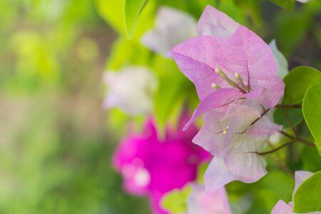 Soft focus of pink bougainvillea glabra choisy flower with leaves soft focus of pink bougainvillea glabra choisy flower with leaves beautiful paper flower vintage in the mightylinksfo