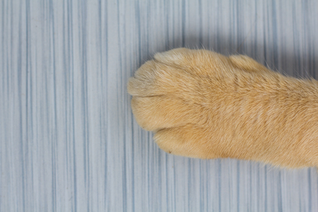clawing: Paws cat close-up