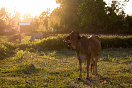 black angus cattle: In the twilight cow on the field.
