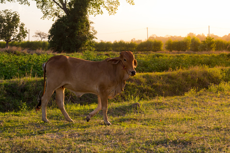 black angus cattle: cow stand on the field, outdoor twilight background.