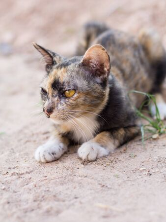 Young cats beautiful color, sit on ground. Thai cat yellor color waiting food. Stock Photo