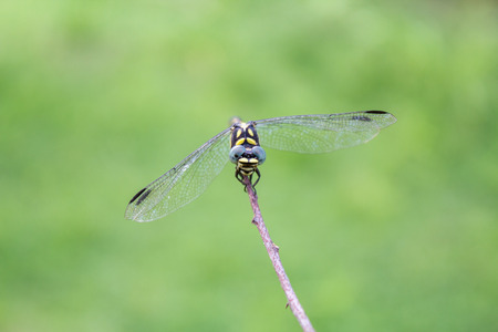 blue dragonfly in the dry grass. beautiful sky dragonfly on the field. Stock Photo
