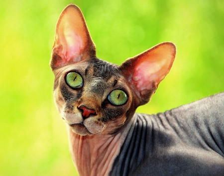 Sphynx hairless cat on a green background photo