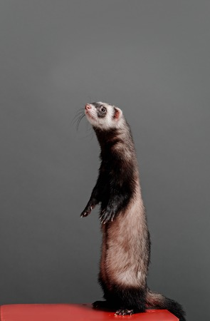 Young ferret standing and looking to the side on a gray background in the studio. The animal is standing on its hind legs. Stock Photo