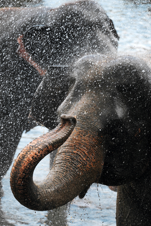Asiatic small elephant having a bath in the river, Sri-Lanka. Close-up. Vertical
