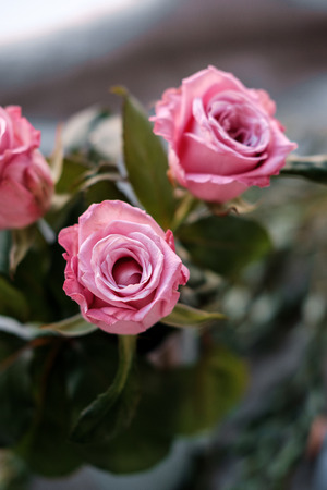 Fresh Pink roses close-up