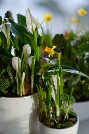 Beautiful white and yellow flowers in flower pots on the windowsill. daylight. close-up. botany. home flowers Фото со стока