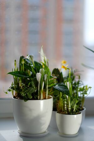 Beautiful white and yellow flowers in flower pots on the windowsill. daylight. close-up. botany. home flowers