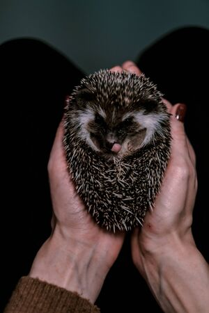 A small decorative hedgehog curled into a ball in female hands. Cute african hedgehog on womans palms. Pets concept 写真素材