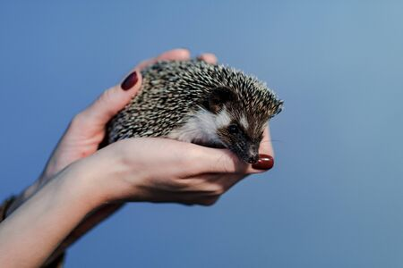 An african pygmy hedgehog on owner hand. Pets concept