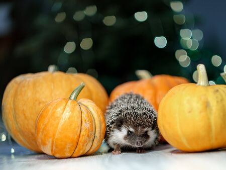 A cute little hedgehog walks around the table with pumpkins. Autumn Thanksgiving and Halloween Background. Copyspace - holidays, animals and celebration concept 写真素材