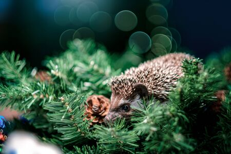 Christmas card with a cute little hedgehog. fir background. New year card hedgehog. Holidays, winter and celebration concept. copyspace - holidays, animals and celebration concept Stockfoto