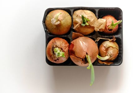 sprouted onions in a container on a white background. top view Banco de Imagens