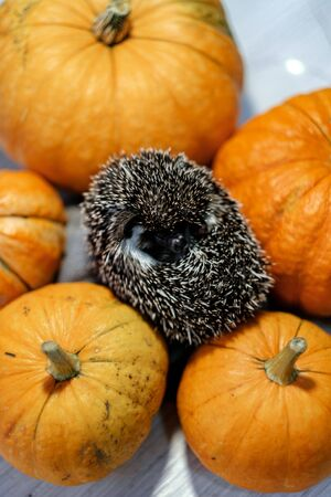 Cute little hedgehog curled in a ball lies on pumpkins. Autumn Thanksgiving Background. Copyspace - holidays, animals and celebration concept