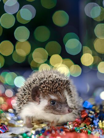 Christmas card with a cute little hedgehog. fir background. New year card hedgehog. Holidays, winter and celebration concept. copyspace - holidays, animals and celebration concept 免版税图像
