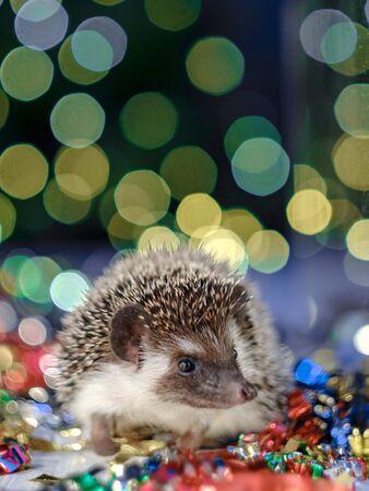 Cute little hedgehog. fir background. New year card hedgehog. Holidays, winter and celebration concept. copyspace - holidays, animals and celebration concept Stockfoto