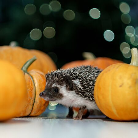 A cute little hedgehog walks around the table with pumpkins. Autumn Thanksgiving and Halloween Background. Copyspace - holidays, animals and celebration concept 免版税图像