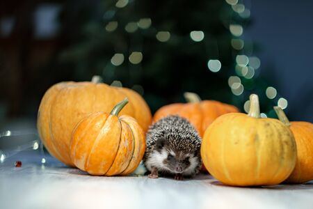 A cute little hedgehog walks around the table with pumpkins. Autumn Thanksgiving Background. Copyspace - holidays, animals and celebration concept