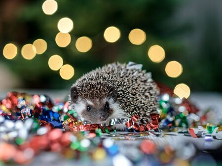 Christmas card with a cute little hedgehog. fir background. New year card hedgehog. Holidays, winter and celebration concept. copyspace - holidays, animals and celebration concept