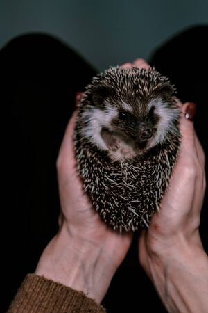 A small decorative hedgehog curled into a ball in female hands. Cute african hedgehog on womans palms. Pets concept Stock Photo