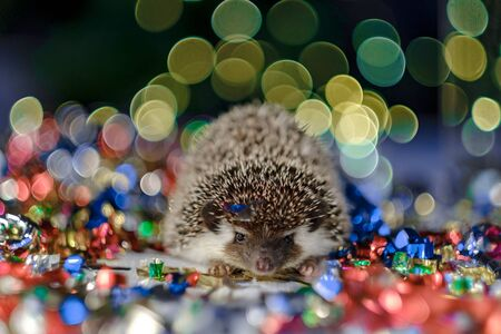 Christmas card with a cute little hedgehog. fir background. New year card hedgehog. Holidays, winter and celebration concept. copyspace - holidays, animals and celebration concept Фото со стока