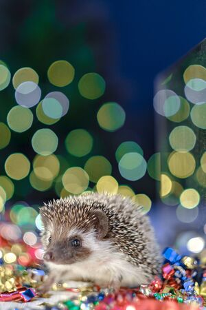 Christmas card with a cute little hedgehog. fir background. New year card hedgehog. Holidays, winter and celebration concept. copyspace - holidays, animals and celebration concept Stock Photo