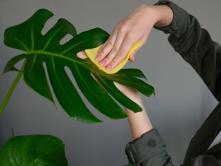 European young woman caring for a houseplant in a pot. Girl gently wipes the green leaves of Monstera. Plant care concept. Allergy to flowers. flowers in the interior