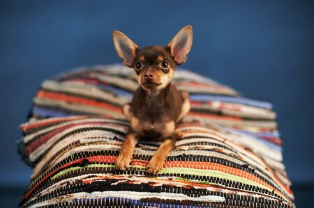 Beautiful Russian Toy Terrier sits on a striped plaid on a blue background. Small manual domestic dog. The concept of pets. Image for veterinarian, animal site, animal feed. Stock Photo