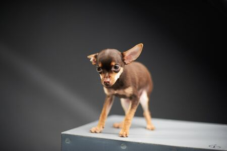 Beautiful Russian Toy Terrier on a blue background. Small manual domestic dog. The concept of pets. Image for veterinarian, animal site, animal feed. Stock Photo