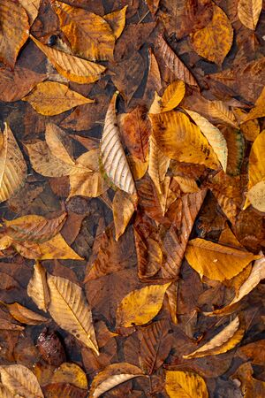 Autumn Leaves Background. Colorful autumn. flaccid yellow leaves underfoot