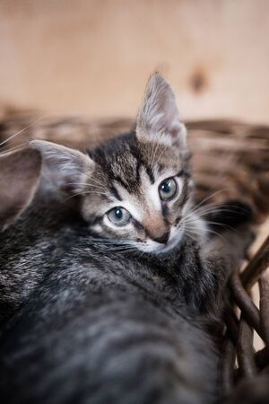 Gray kitten lies in a wicker basket. Zoo care. Beautiful face. selective focus Stock Photo