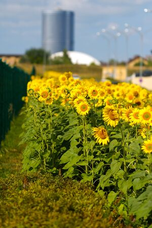field of sunflowers on an urban landscape background. nature and city